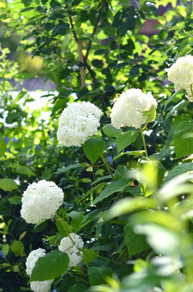 庭の紫陽花_d0025294_10295055.jpg
