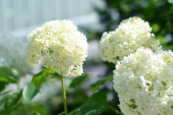 庭の紫陽花_d0025294_10300571.jpg