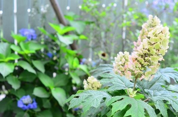 庭の紫陽花_d0025294_10302732.jpg