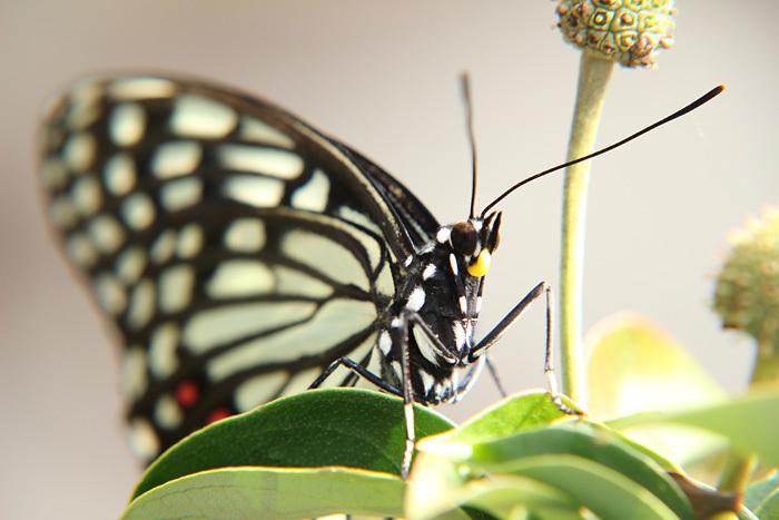 Swallowtail君臨_c0120834_08340482.jpg