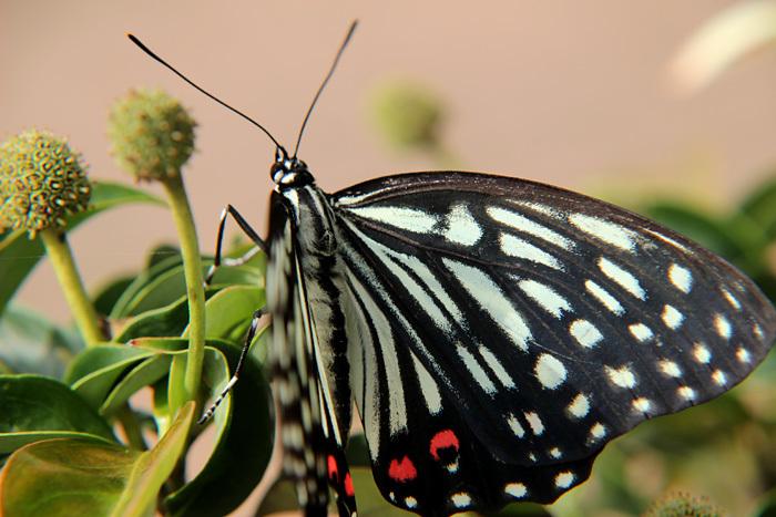Swallowtail君臨_c0120834_08340496.jpg
