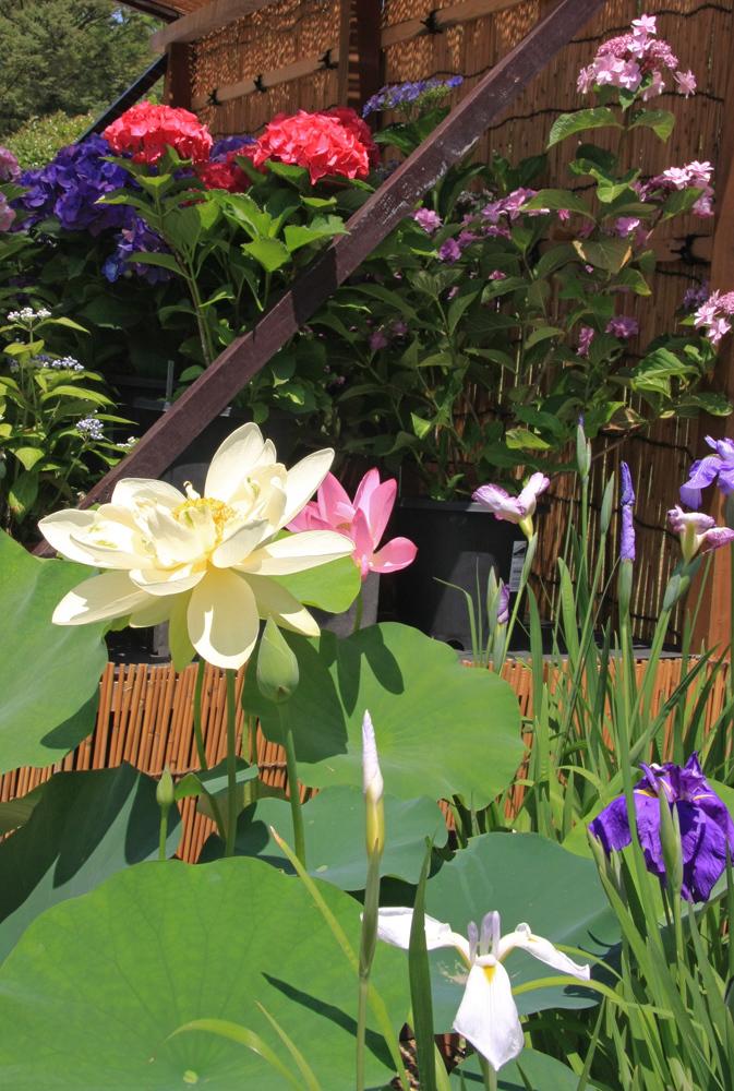 大阪 長居植物園 紫陽花 ハス_c0108146_20203225.jpg