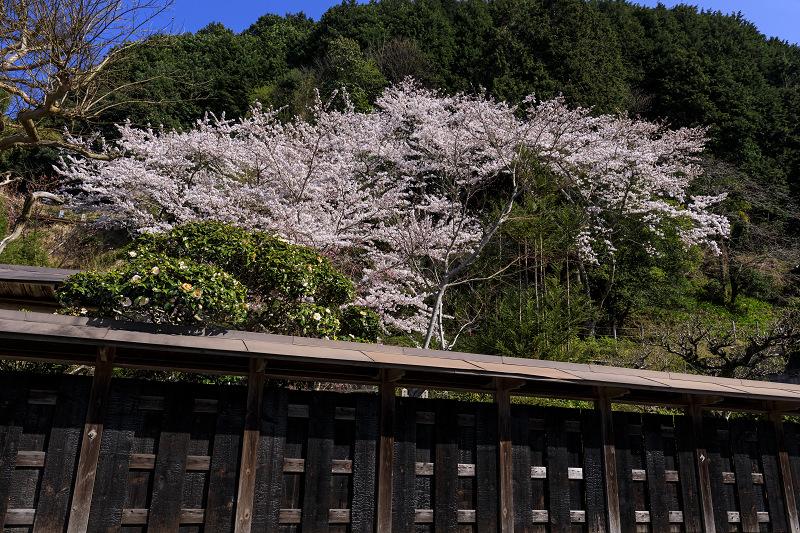 2020桜咲く京都 さくら咲く正壽院_f0155048_23314378.jpg