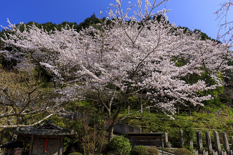 2020桜咲く京都 さくら咲く正壽院_f0155048_23321415.jpg
