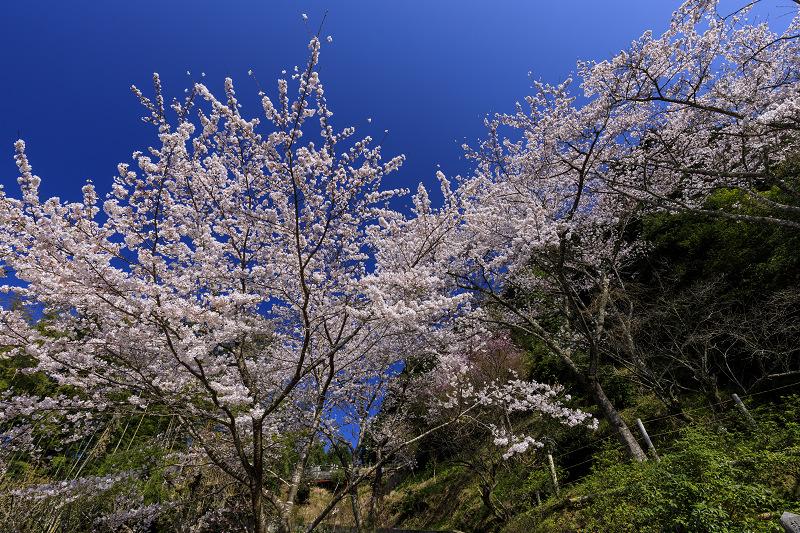 2020桜咲く京都 さくら咲く正壽院_f0155048_23321874.jpg