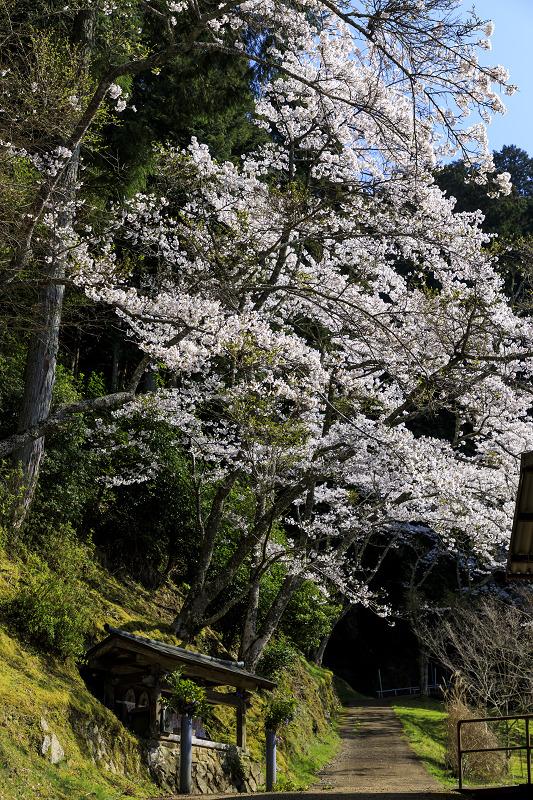 2020桜咲く京都 さくら咲く正壽院_f0155048_2332890.jpg