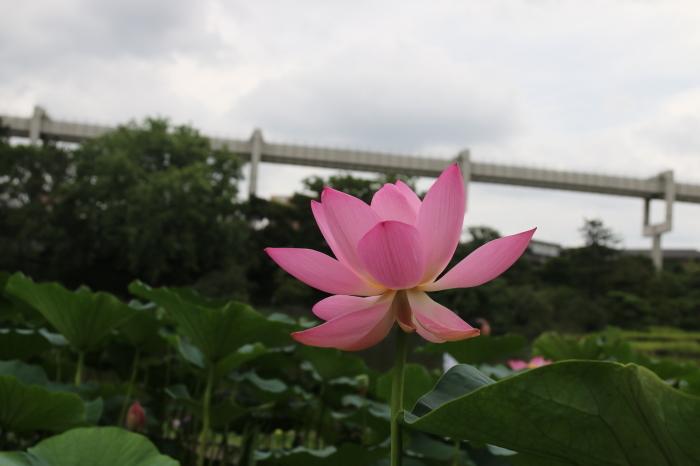 千葉公園の大賀ハス♪美しい姿にうっとり 3_d0152261_19150799.jpg