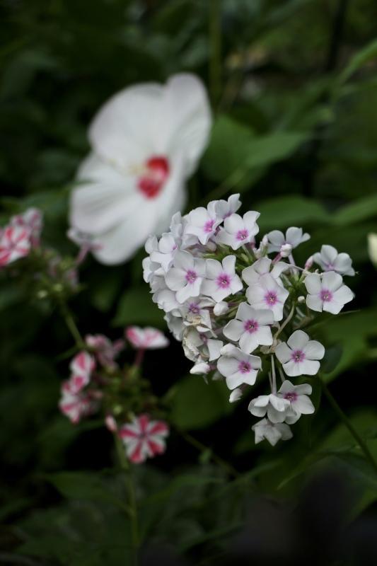 咲き出した夏の花〜_a0123003_14274897.jpeg