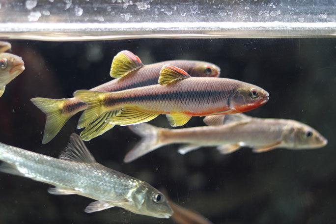 水生物館の日本産淡水魚たち~カワムツの婚姻色とドジョウ水槽(井の頭自然文化園 August 2019)_b0355317_21293392.jpg