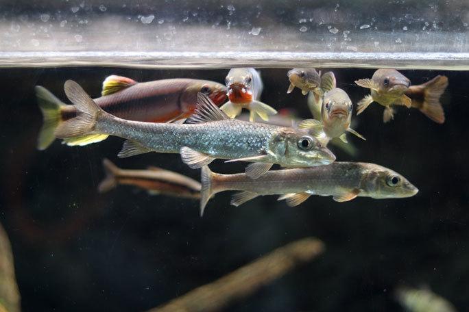 水生物館の日本産淡水魚たち~カワムツの婚姻色とドジョウ水槽(井の頭自然文化園 August 2019)_b0355317_21351371.jpg