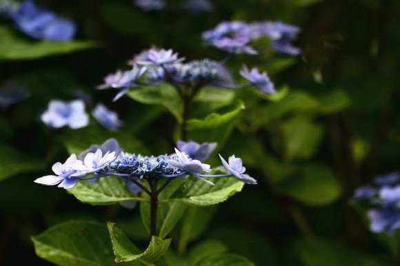 紫陽花(6)_c0093046_19023254.jpg