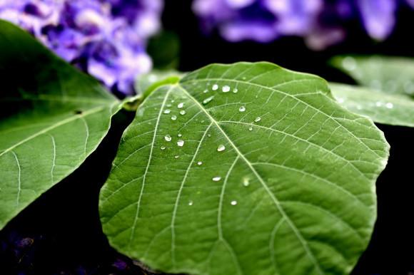 紫陽花(6)_c0093046_19030713.jpg