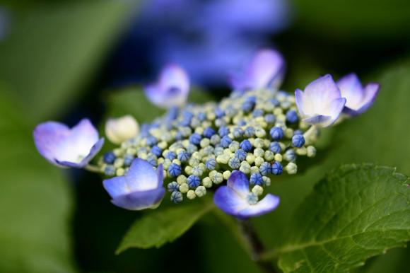 紫陽花(6)_c0093046_19032219.jpg