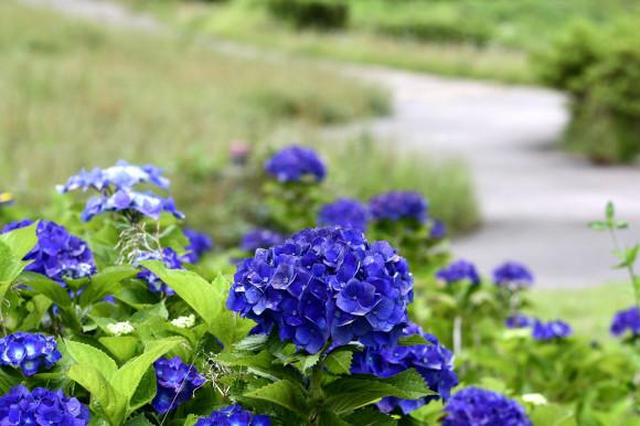 紫陽花(6)_c0093046_19042912.jpg