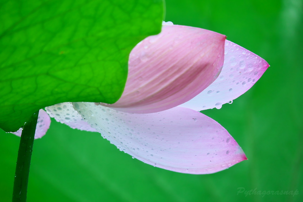 Lotus@2020_c0187584_11264813.jpg