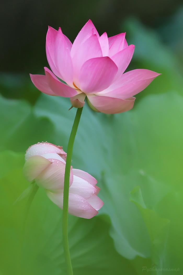 Lotus@2020_c0187584_11361283.jpg