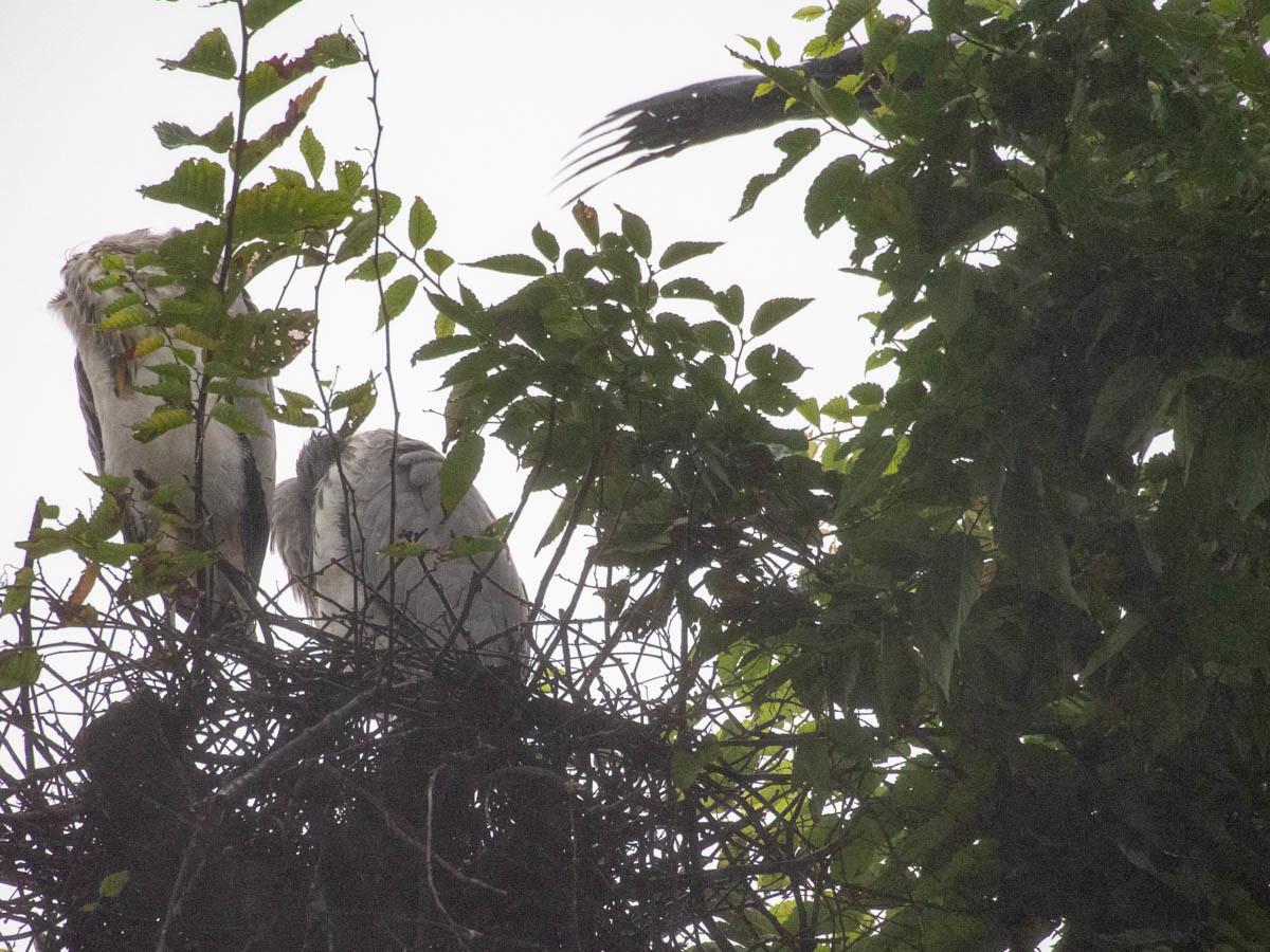 アオサギ 兄弟  (アオサギ)  2020/07/15_d0146592_23195759.jpg