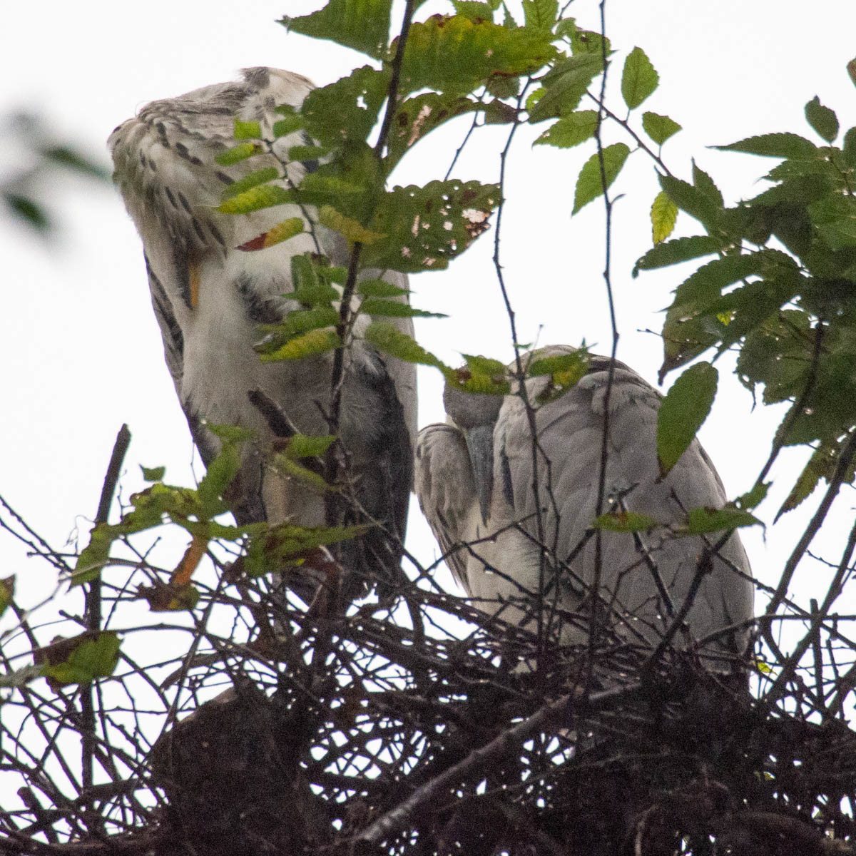 アオサギ 兄弟  (アオサギ)  2020/07/15_d0146592_23211486.jpg