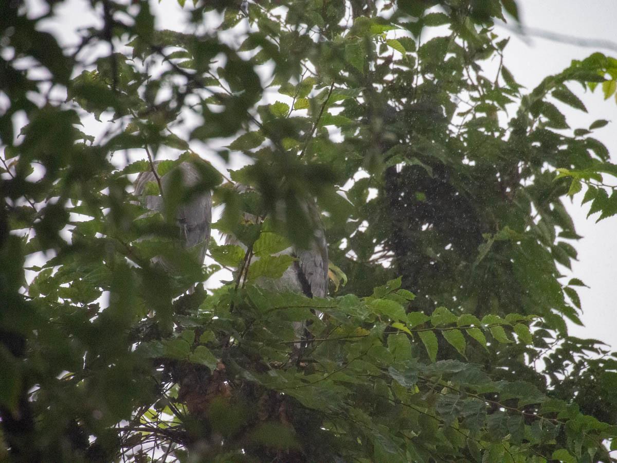アオサギ 兄弟  (アオサギ)  2020/07/15_d0146592_23221651.jpg