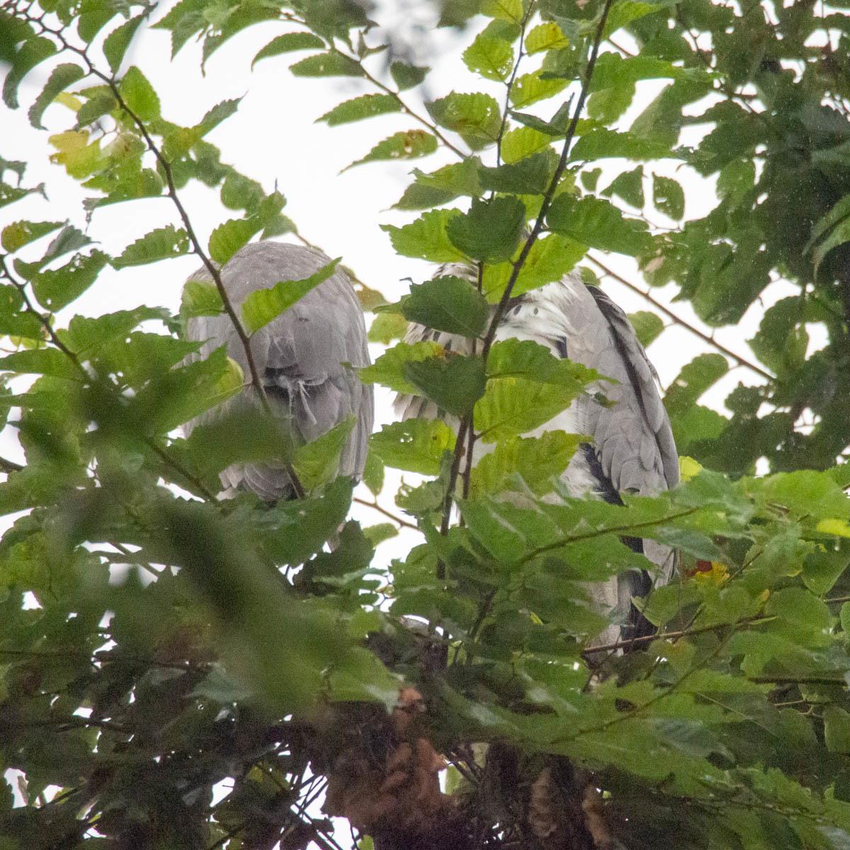 アオサギ 兄弟  (アオサギ)  2020/07/15_d0146592_23230352.jpg