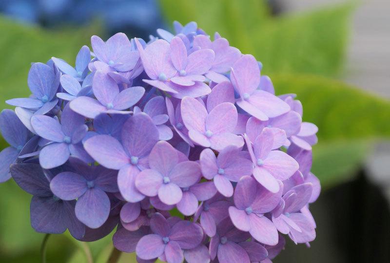 紫陽花_d0162994_08181622.jpg