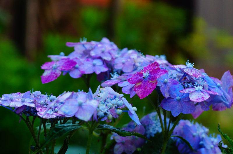 紫陽花_d0162994_08190946.jpg