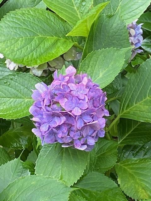 紫陽花_b0158721_18073006.jpg