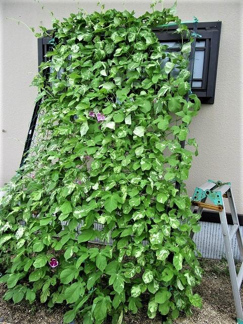 緑のカーテン_e0072023_13415078.jpg