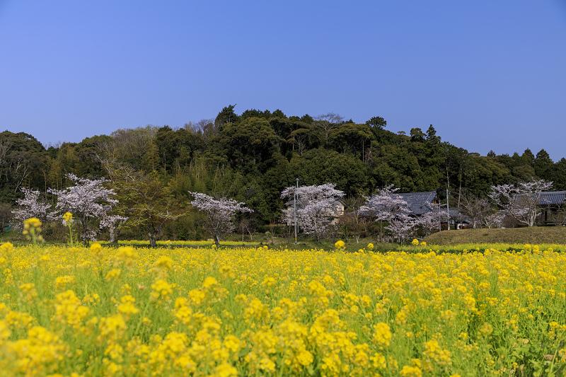 2020桜咲く京都 観音寺の桜と菜の花_f0155048_23284088.jpg
