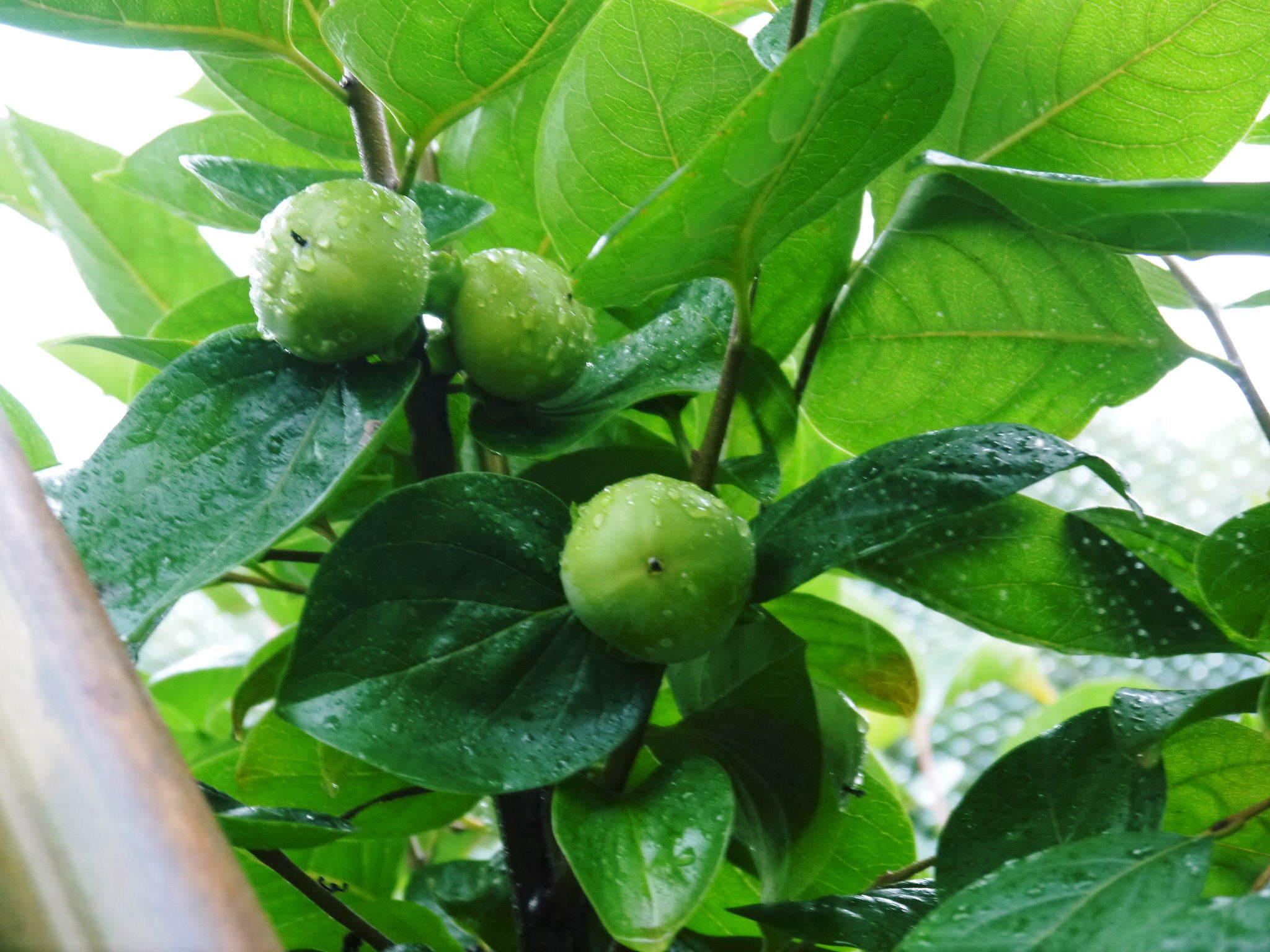 太秋柿 古川果樹園 生理落下後の果実の成長の様子(2020) まもなく始まる惜しまぬ手間ひまと匠の技_a0254656_19065492.jpg