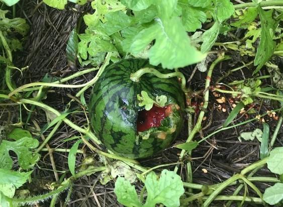 ああ、悔しい!スイカ長雨で今年も収穫できず7・18_c0014967_15343418.jpg