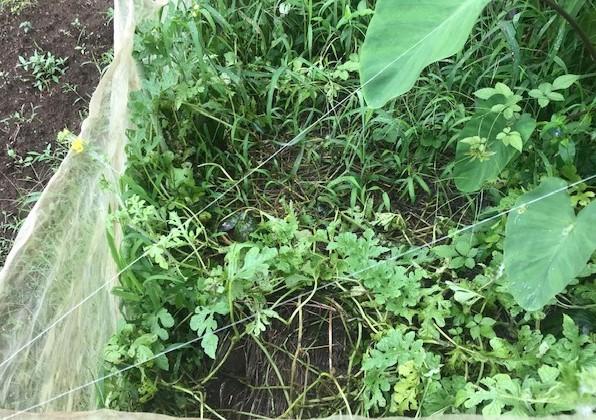 ああ、悔しい!スイカ長雨で今年も収穫できず7・18_c0014967_15350945.jpg