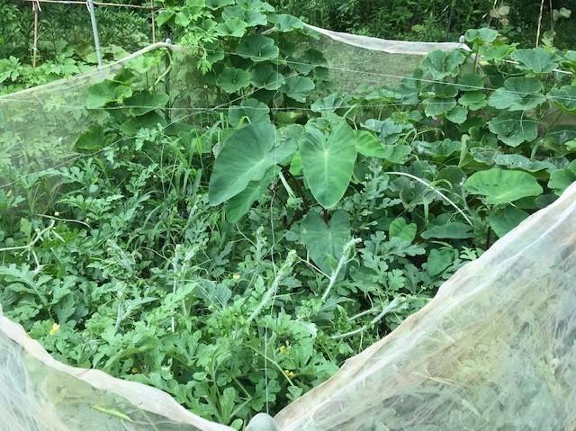 ああ、悔しい!スイカ長雨で今年も収穫できず7・18_c0014967_15360526.jpg