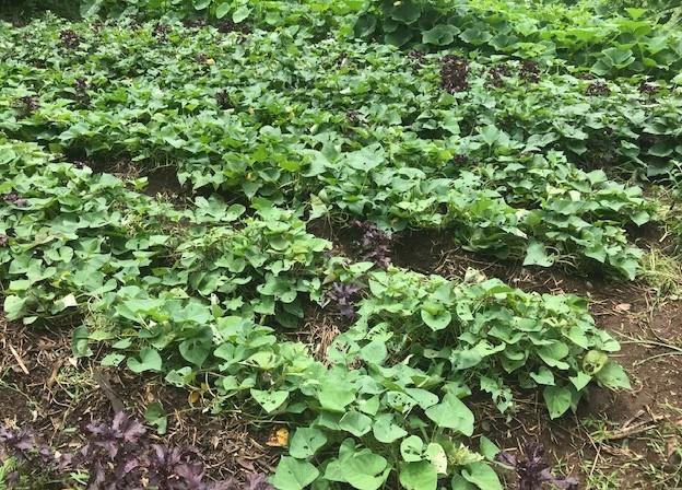 ああ、悔しい!スイカ長雨で今年も収穫できず7・18_c0014967_15371554.jpg