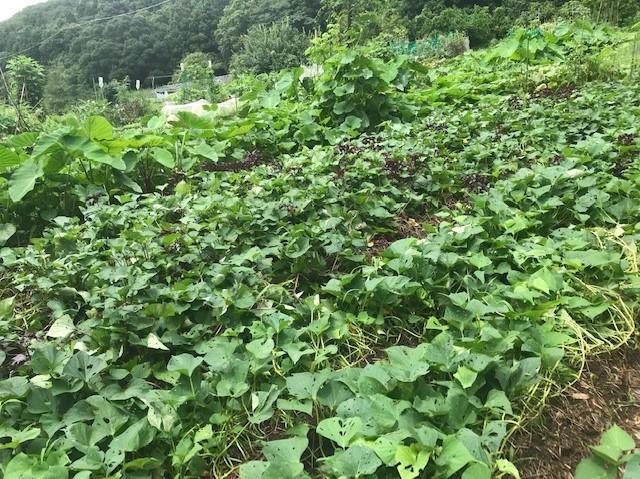 ああ、悔しい!スイカ長雨で今年も収穫できず7・18_c0014967_15401149.jpg