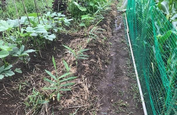 ああ、悔しい!スイカ長雨で今年も収穫できず7・18_c0014967_15420770.jpg