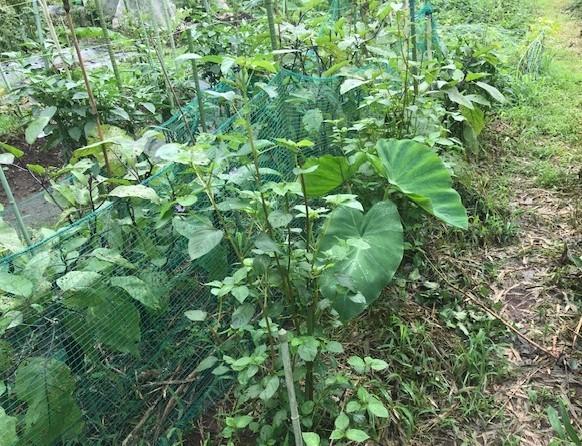 ああ、悔しい!スイカ長雨で今年も収穫できず7・18_c0014967_15443001.jpg