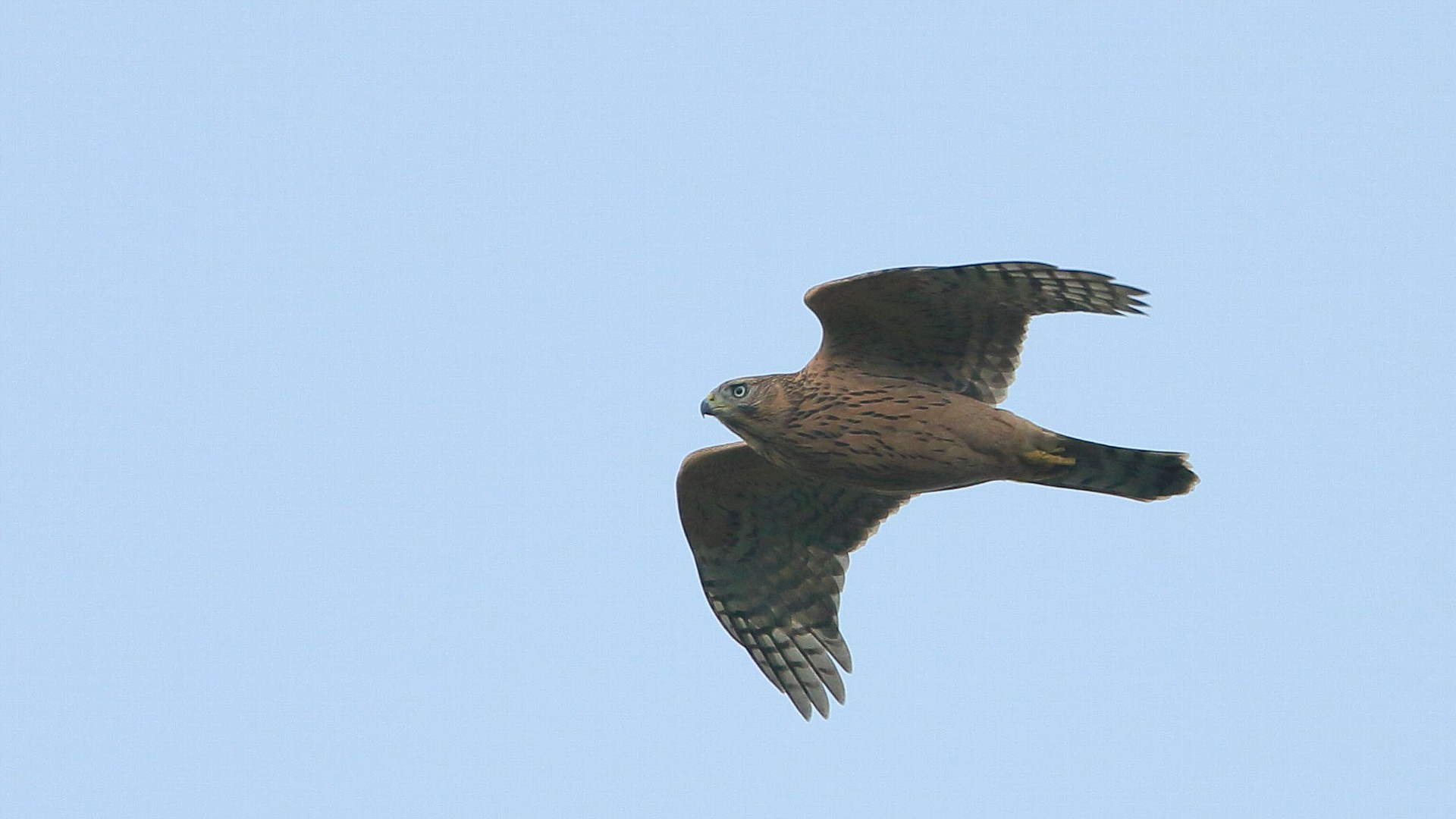 昨年今頃のオオタカ幼鳥飛翔_f0105570_21352405.jpg