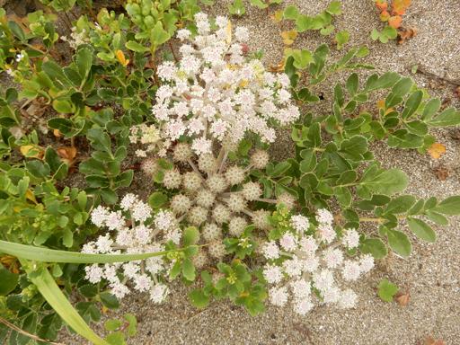 海辺に生きる植物たち_d0366590_07520912.jpg