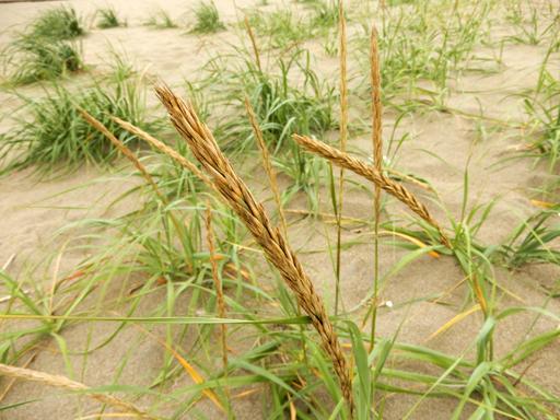 海辺に生きる植物たち_d0366590_08054016.jpg