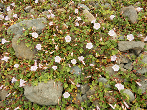 海辺に生きる植物たち_d0366590_08130230.jpg