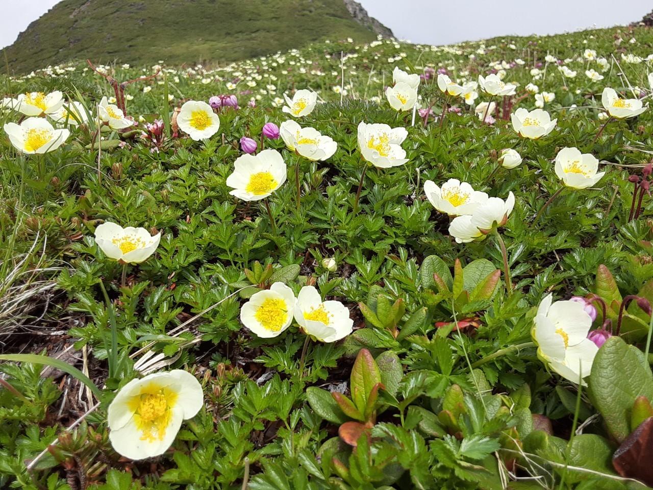 自分史上最大のお花畑!!大雪山の黒岳から赤岳へ_d0198793_08250316.jpg