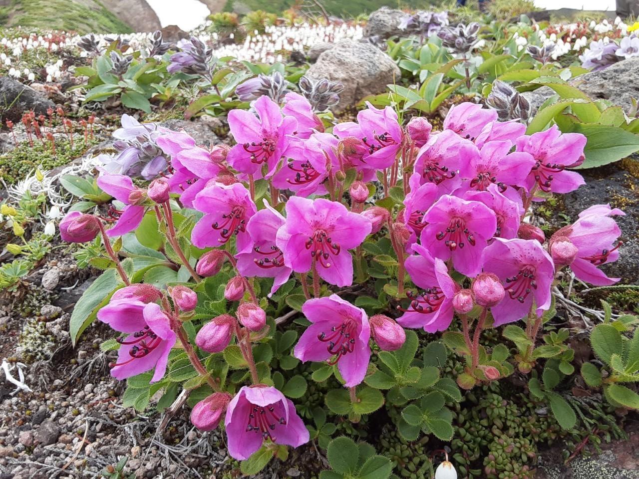 自分史上最大のお花畑!!大雪山の黒岳から赤岳へ_d0198793_08252833.jpg