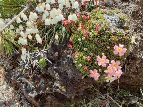 自分史上最大のお花畑!!大雪山の黒岳から赤岳へ_d0198793_08254128.jpg