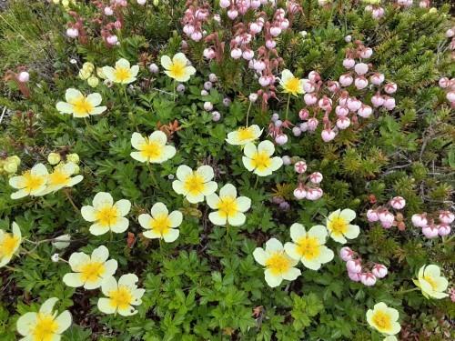 自分史上最大のお花畑!!大雪山の黒岳から赤岳へ_d0198793_08254704.jpg