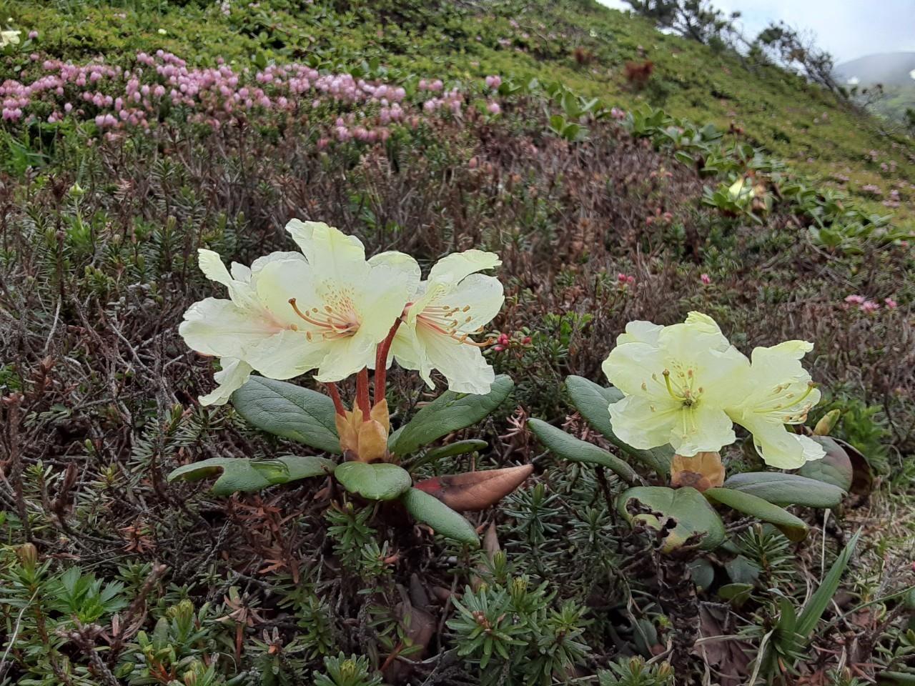 自分史上最大のお花畑!!大雪山の黒岳から赤岳へ_d0198793_08255520.jpg