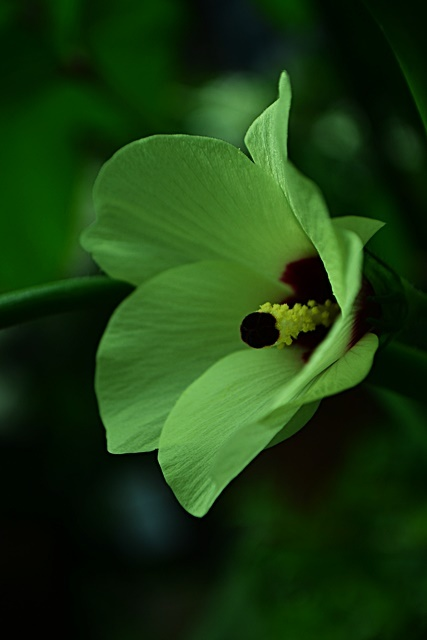 オクラの花が咲きました♪_a0240403_20540729.jpg
