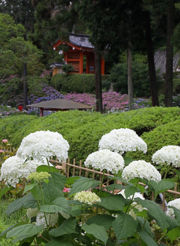 京都 三室戸寺 紫陽花 2_c0108146_21374382.jpg