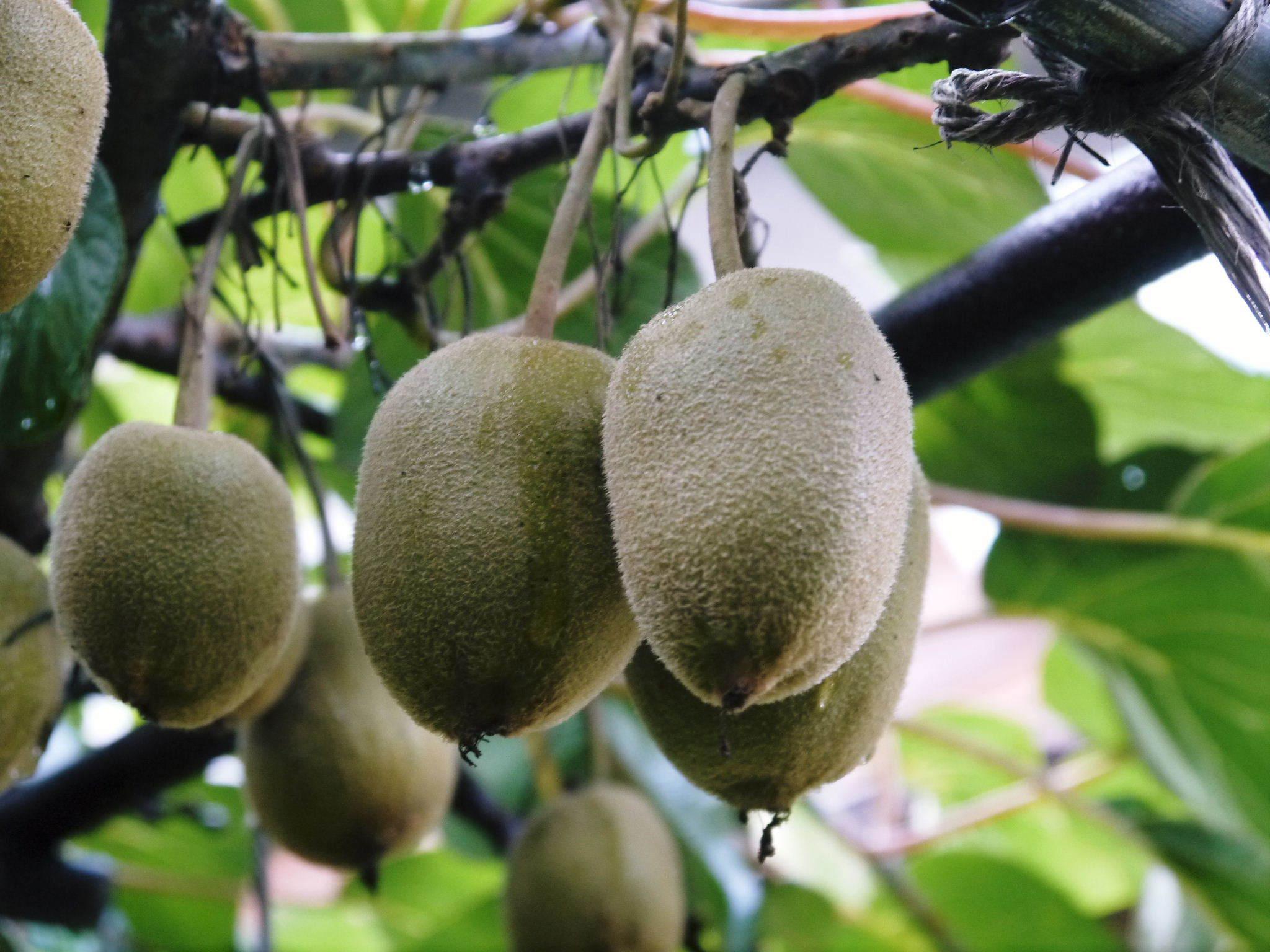 水源キウイ 今年(令和2年)も完全無農薬で育ててます!雨にも負けず元気に育ています!_a0254656_18352712.jpg