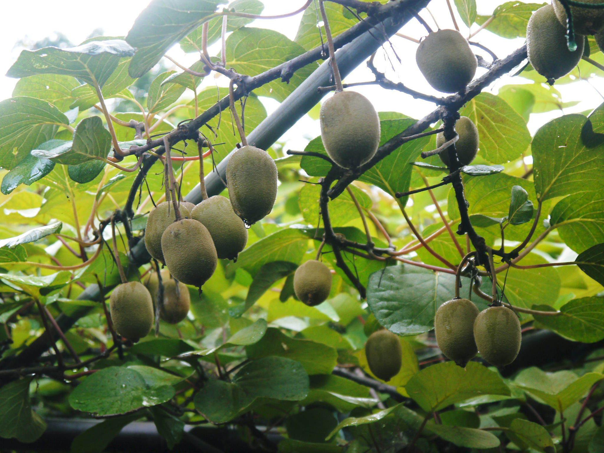 水源キウイ 今年(令和2年)も完全無農薬で育ててます!雨にも負けず元気に育ています!_a0254656_18404515.jpg